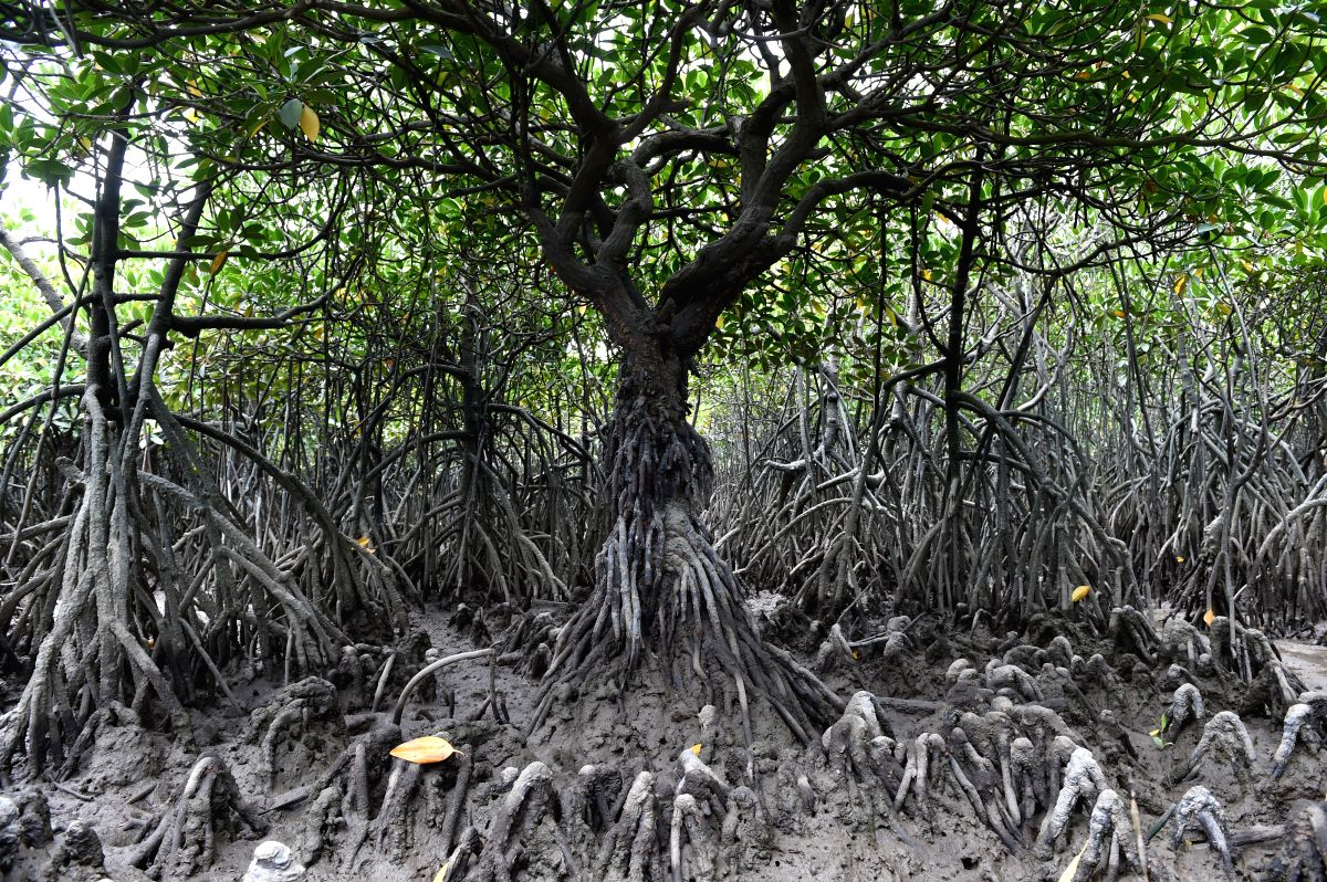Mangrove forest in the SHANKOU MANGROVE NATURAL RESERVE, China