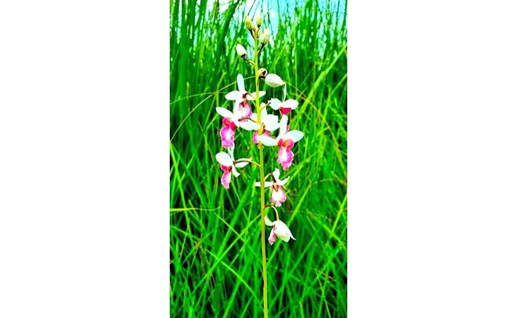 Rare orchid plant found in Dudhwa National Park.