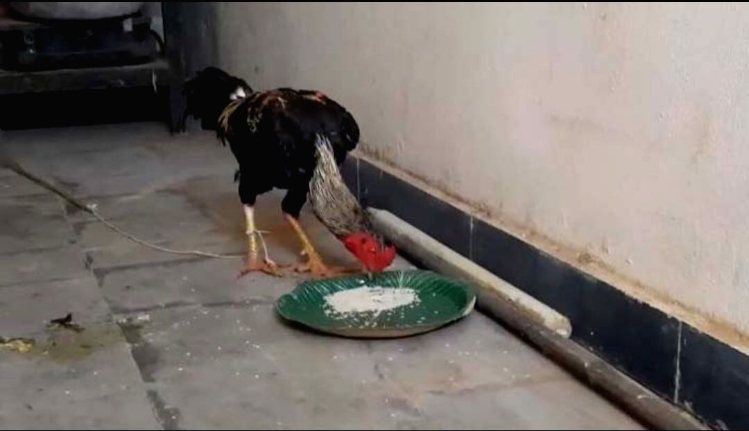 Rooster that accidentally killed its owner to be produced in court
