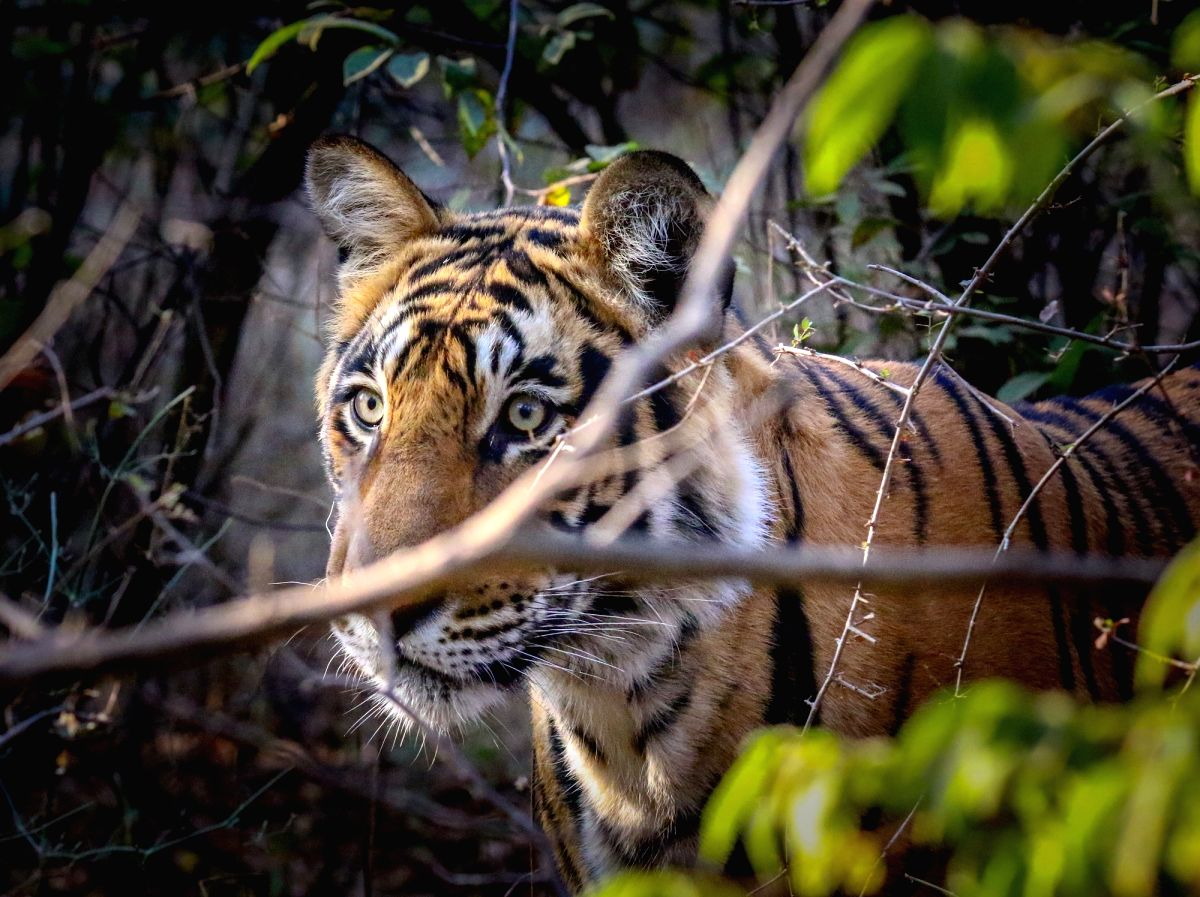 """""""Save the Tiger"""" campaign can only be achieved by collective efforts...(photo:IANSLIFE)"""