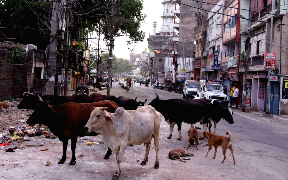 Shimla, June 6 (IANS) The Himachal Pradesh Police on Saturday arrested a person for causing injuries to a cow by feeding her a wheat flour ball laced with firecrackers.