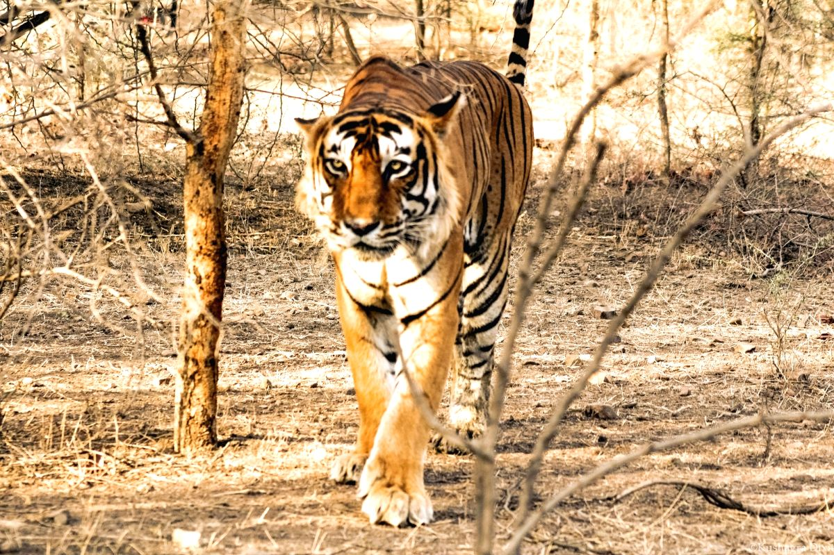 Wandering tigress to be relocated inside Pilibhit reserve