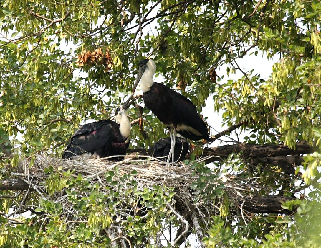 woolly-necked storks