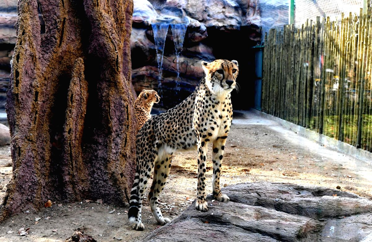 ZHENGZHOU, Dec. 18, 2018 (Xinhua) -- Cheetahs are seen in the Zhengzhou Zoo in Zhengzhou, capital of central China's Henan Province, Dec. 18, 2018. Zhengzhou Zoo has welcomed five couples of cheetahs from South Africa for the first time recently. (Xi