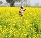 Amritsar: Mustard fields bloom in Punjab