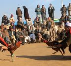 AFGHANISTAN-BALKH-COCK-FIGHTING
