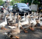 Guwahati: A flock of white geese