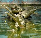 Jaipur: A congregation of alligators at Jaipur Zoo