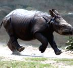 Kolkata: Rhinoceros calf at Alipore Zoological Gardens