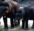 Kolkata: Cow-elephants at Alipore Zoological Gardens