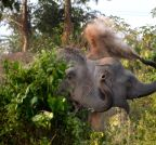 Nagaon: Wild elephants play with grass and mud