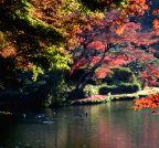Tokyo (Japan): Ducks swim in the lake at a park in late autumn in Tokyo