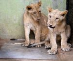 "Free Photo: 2 tiger and 2 lion cubs born in Bengaluru zoo"":"