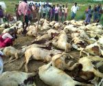63 sheep found dead in mysterious circumstances
