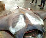 750 kg stingray caught in K'taka, video clip goes viral