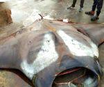 750 kg stingray caught in K'taka, video clip goes viral