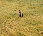 Rain, winds damage wheat crop in Punjab