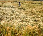 Wheat crops destroyed due to heavy rains