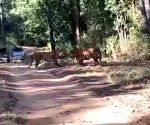 Twitterati in awe over tigers' territorial fight clip