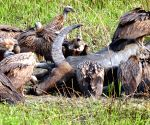 Griffon vultures at Kaziranga National Park