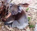 Koala rescued from bushfires woos netizens