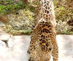 Driven to extinction in US, scientists favour reintroduction of jaguars
