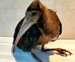 Glossy Ibis collapses at PM House, security men come to its aid (Ld)