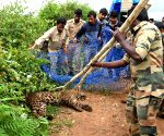 Leopard that strayed into HD Kote village