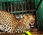 Forest dept traps leopard in Mysuru