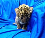 Leopard cub rescued at airport
