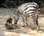 Zebra foal at Kolkata Zoo