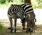 Zebra foal at Mysore Zoo
