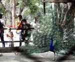 Patna Zoo - peacock