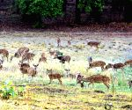 Invoking God and hard work revives rutting of deers in Bandhavgarh