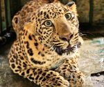 Leopard attacks UP forester in Pilibhit