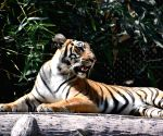 Sanjay Gandhi Biological Park  - Tiger