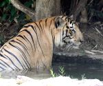 Tiger at Patna Zoo on a hot day