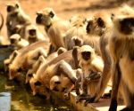 Hot Day - Grey Langurs drink water from a pond