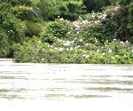Mandya (Karnataka): Flooded Ranganathittu bird sanctuary