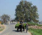 A villager ride a bullock cart as it passes through the village farms on the outskirt of Amritsar