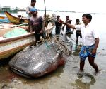 Whale shark found washed ashore at Kasimedu fishing harbour