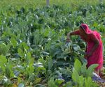 Cauliflower field