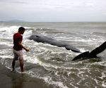 INDONESIA ACEH WHALE CARCASS
