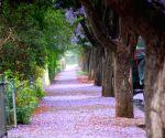 Adelaide (Australia): Jacaranda flowers blossom