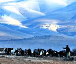 Jordan ajloun shepherd herding