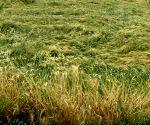Hail storms destroy crops