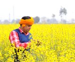 Amritsar: A Villager checks mustard flowers on his filed on the outskirts of Amritsar