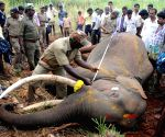 Elephant found dead with gunshot wounds