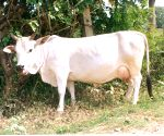 K'taka to table law on cow slaughter ban in next Assembly session