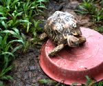 Trafficked Star Tortoises return home form Singapore